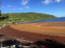Beautiful colours, but weed stricken beach, The Saints, Guadeloupe